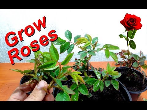 How to Grow Roses from Cuttings very Easy