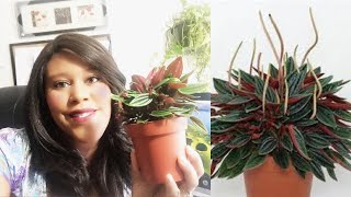 Gorgeous Baby Pepperomia Review - Houseplantshop.com - Affordable & Cut houseplants - ONLY $12.00 !