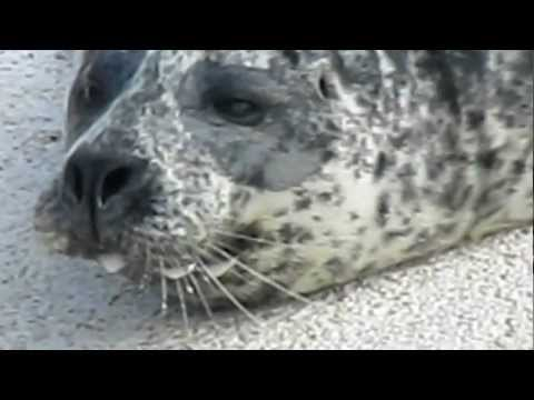 Seals at the Zoo in Iceland - Part 1 of 3