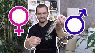 Comment Voir Le Sexe D&'un Serpent ? Un Serpent Qui Souffle Fort