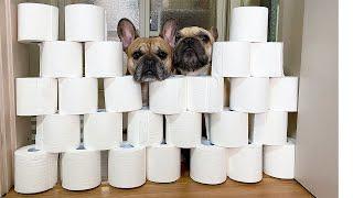 Toilet Paper Wall Challenge | FUNNY French Bulldog Reaction ~ 강아지 휴지벽 챌린지!