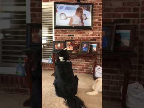 Rosie the Bernese Mountain TV watching DOG