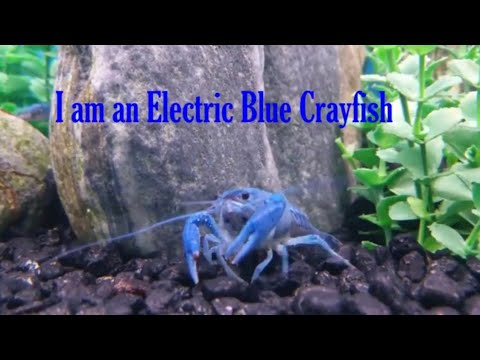Electric Blue Crayfish | Facts on Crayfish | Crawfish