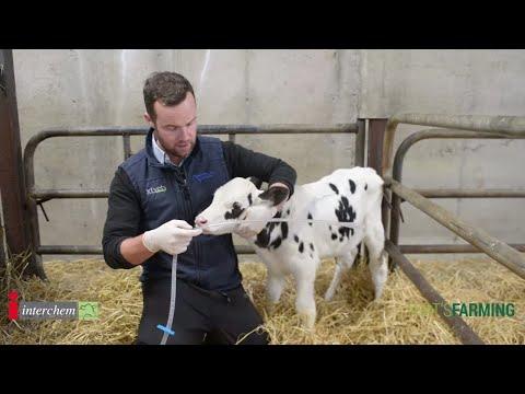Being Brilliant at the Basics - Stomach Tubing a Calf