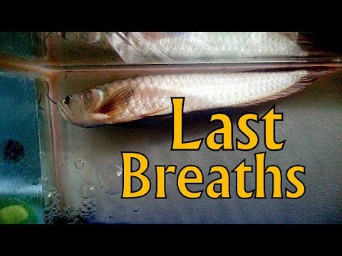 Silver Arowana Almost Dead - Swim Bladder Problem
