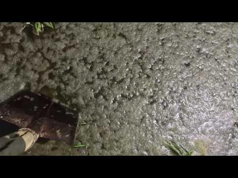 Infestanti della risaia: il Cencio Molle