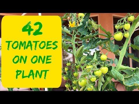 HOW TO MAKE THOSE TOMATOES GROW BIG?