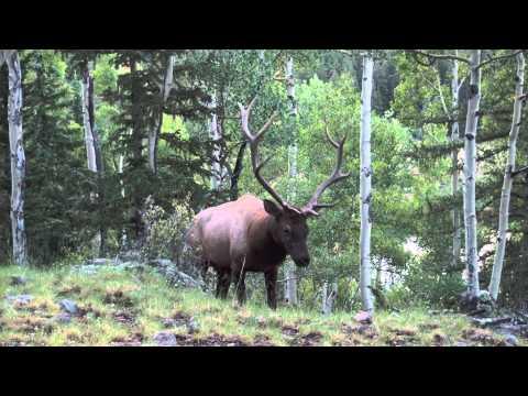 Elk Bugle up close.