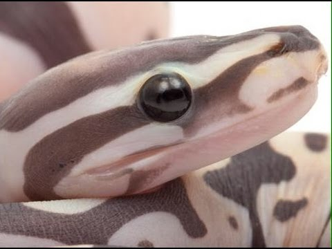 Scaleless Ball Python Unveiling : SnakeBytesTV