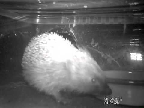 #Hedgehog back from hibernation! 19.03.16