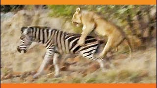 Lions Kill Zebra While Ousting Young Males from Pride!