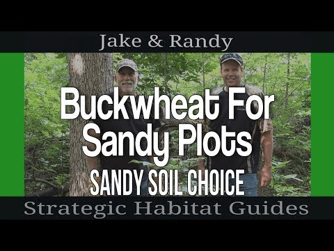 Planting buckwheat to improve sandy soil for growing food plots for deer