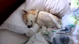 Puppy plays dead to avoid the vet - amazingly convincing!