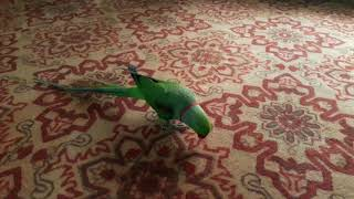 Download Parrot performs the prayer (Subhanallah) سبحان الله!!! طوطی نماز میخواند Video