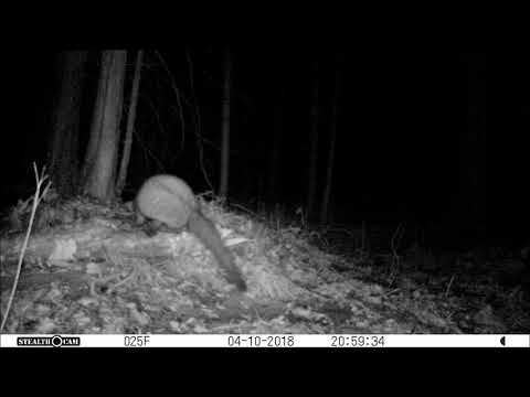 Fisher Shows Up At The Trail Camera