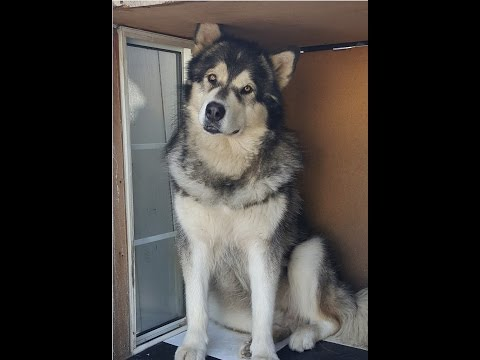 Sheru Running on 3 Legs - Day 22 | Alaskan Malamute | Car Accident | Dog recovery