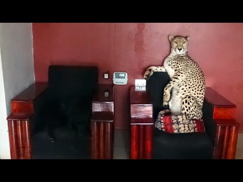 Adopted Handicapped Cheetah Sits in Tiny Dog Bed | Cute Big Cat Stands Like A Meerkat Climbs On Car