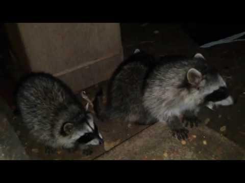 Mom Brings Her Baby Raccoons to Feast