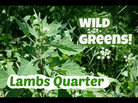 Picking and eating lambs quarter: with the only recipe you need