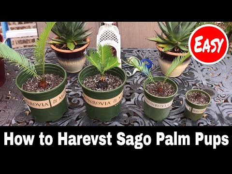 How to Harvest Sago Palm Pups