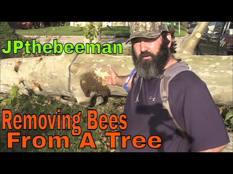 Honey Bee Colony Removed From Fallen Sycamore Tree
