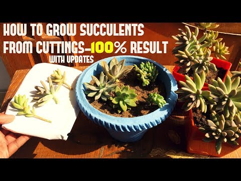 How To Grow Succulents From Cuttings (WITH UPDATES)