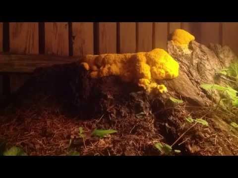 Backyard Slime mold Timelapse.
