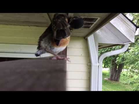 Baby Robins Fly Away from Nest