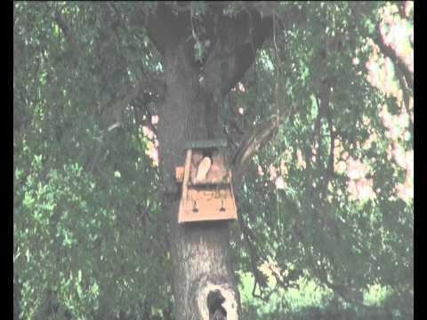 Barn Owl 2011.avi