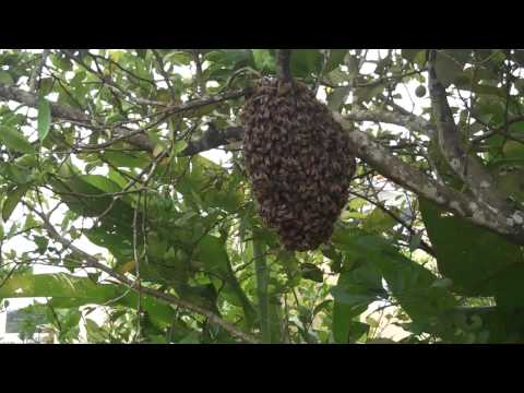 honey bees making a fresh home in my lemon tree on the backyard! :D