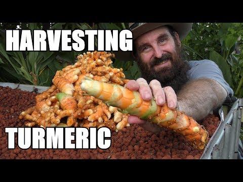 MAMMOTH Turmeric Harvest From the Aquaponics
