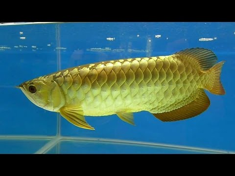 A Little Documentary Of Asian Arowana