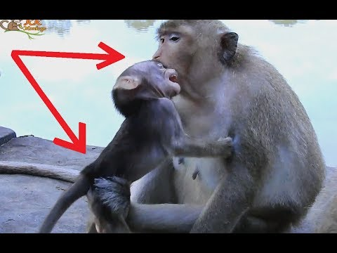Pity poor little baby hungry Young Mom bite Ear and... baby monkey hurt.