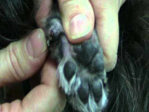 How to clip ingrown dew claws