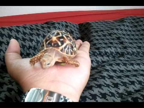 Hand feeding my baby star tortoise.