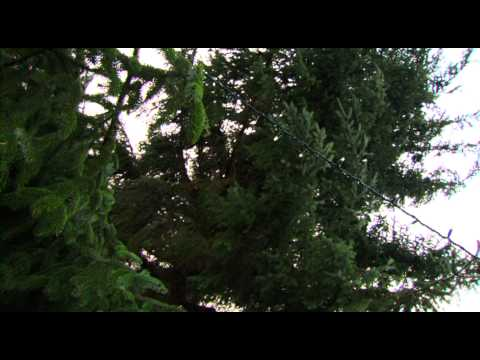 The UK's biggest real Christmas tree - Dobbies & Starlight story
