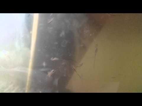 Feeding Frenzy of Brine Shrimp, Artemia Salina, Grow Out, Rearing