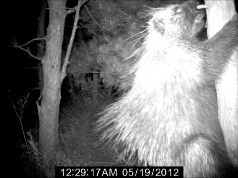 PORCUPINE UP CLOSE! COOL LOOKING ANIMAL AT NIGHT!