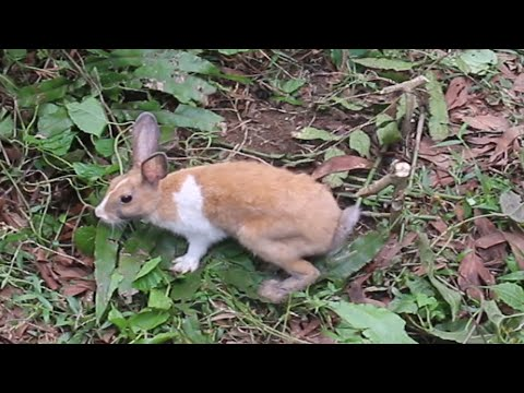 how to make a rabbit trap | hunting wild animals for food