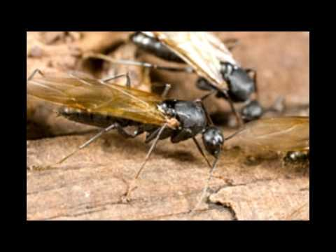 Do Flying Ants Bite It's Not What You Thought