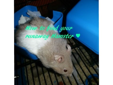 ♥ How To Find Your Lost Hamster ♥