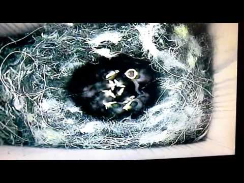 Day 5 blue tit babies...nappy changing