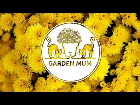 How to plant Garden Mum (Chrysanthemum) in a self-watering Latina pot by Santino