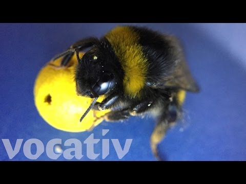 Bees Are Smart Enough To Use Tools For Food