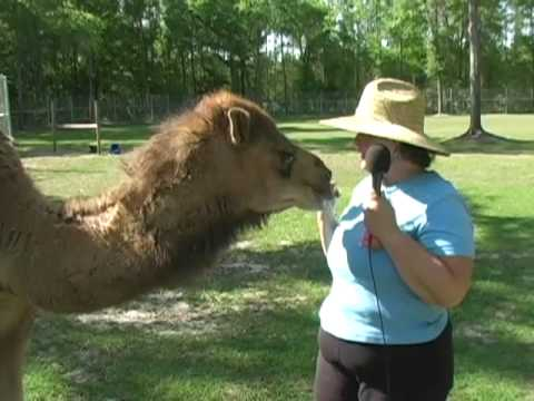 Becky's Homestead: Alpaca Farming