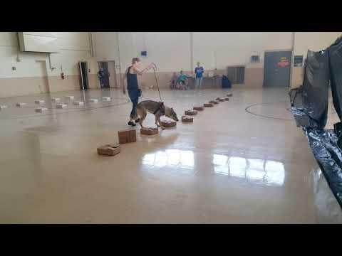 2017.09.17 - UKC Nose Work - Novice Handler Discrimination - Trial 1 - Harley Quinn