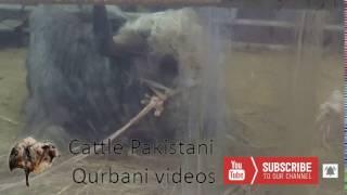 Yak 2017  || Dadi House Gulshan  || Eid Qurban