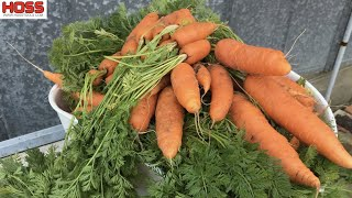 The Ultimate Guide to Planting Carrots