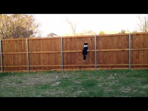 Fast Border Collie Dog Jumps Over Fence