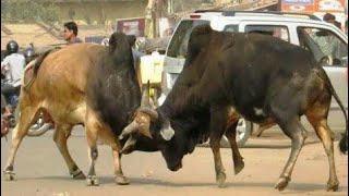 Download बाड़मेर के कलक्ट्रेट में सांड भिड़े, गाड़ियों को तोड़ा